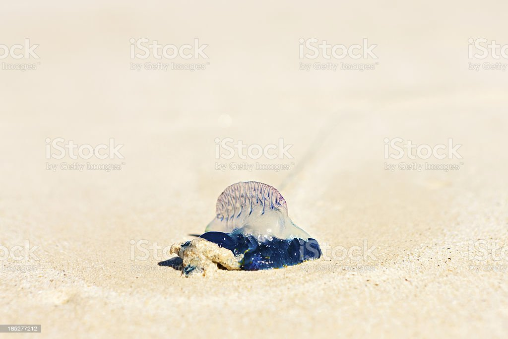 Stranded bluebottle jellyfish lies on beach stock photo