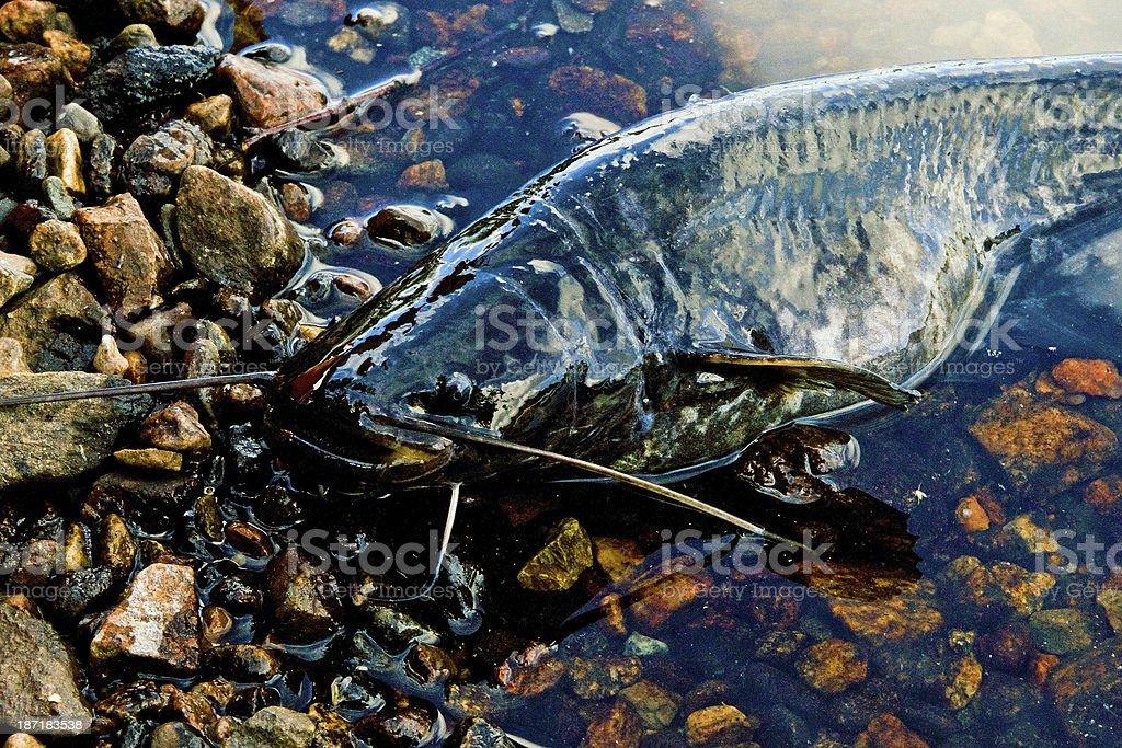 Stranded catfish closeup royalty-free stock photo