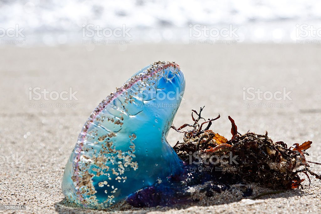 Stranded Jellyfish royalty-free stock photo