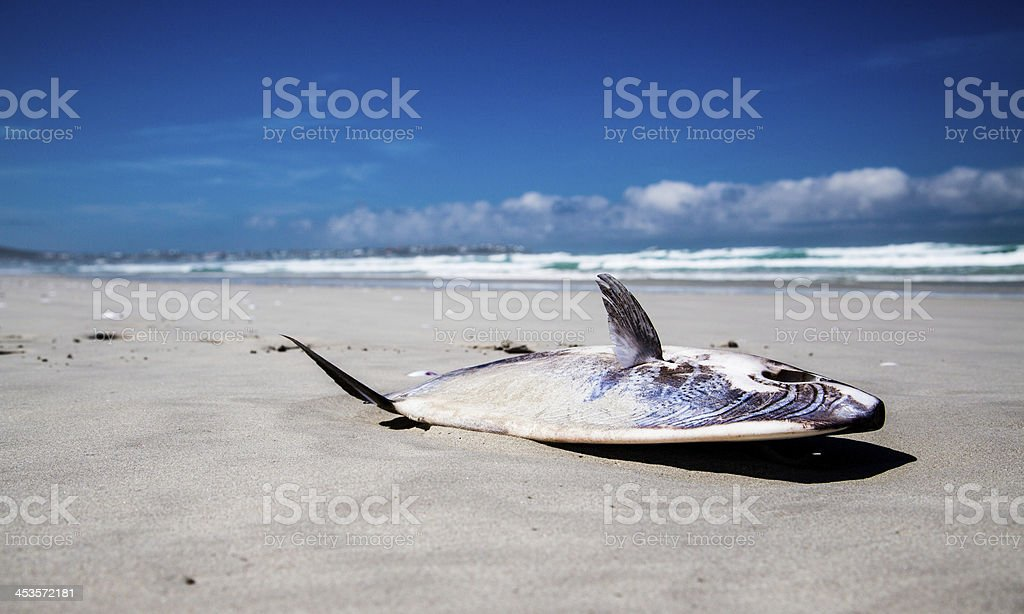 Stranded Mola Sunfish royalty-free stock photo