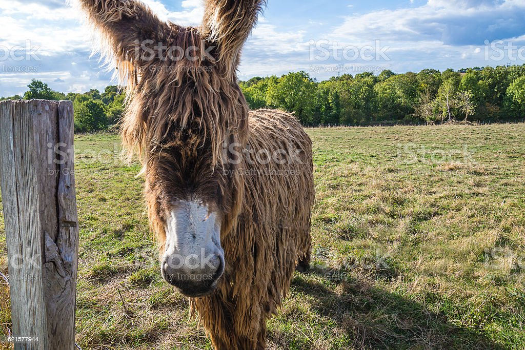 Strange animal: poitou donkey stock photo