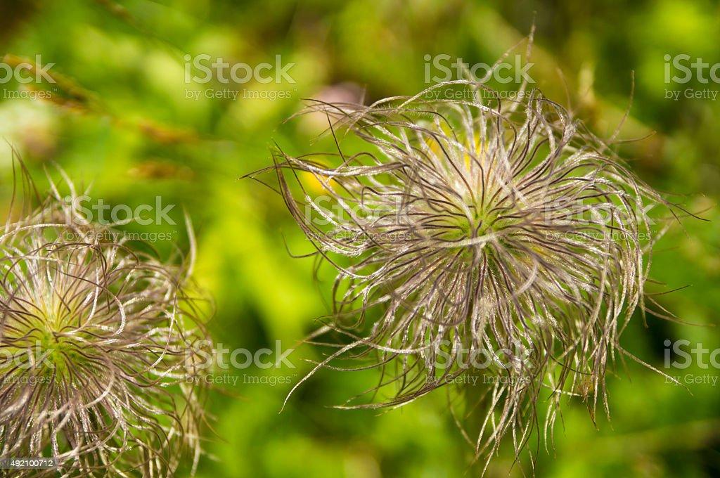 Strange  fluffy wild flowers stock photo