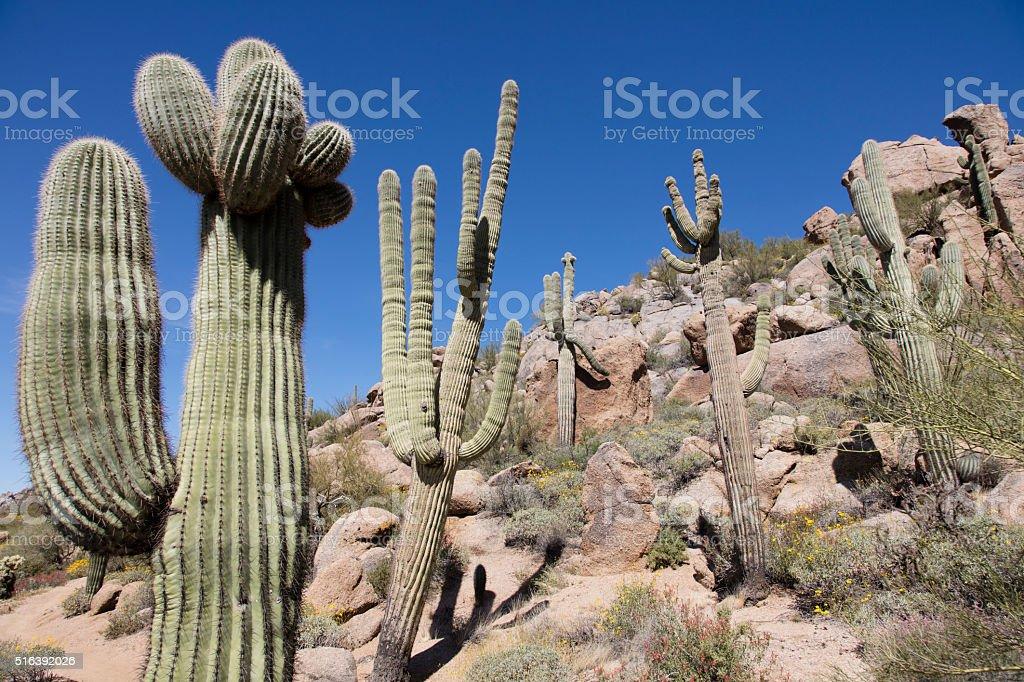 Strange shaped Saguaro Cactus stock photo