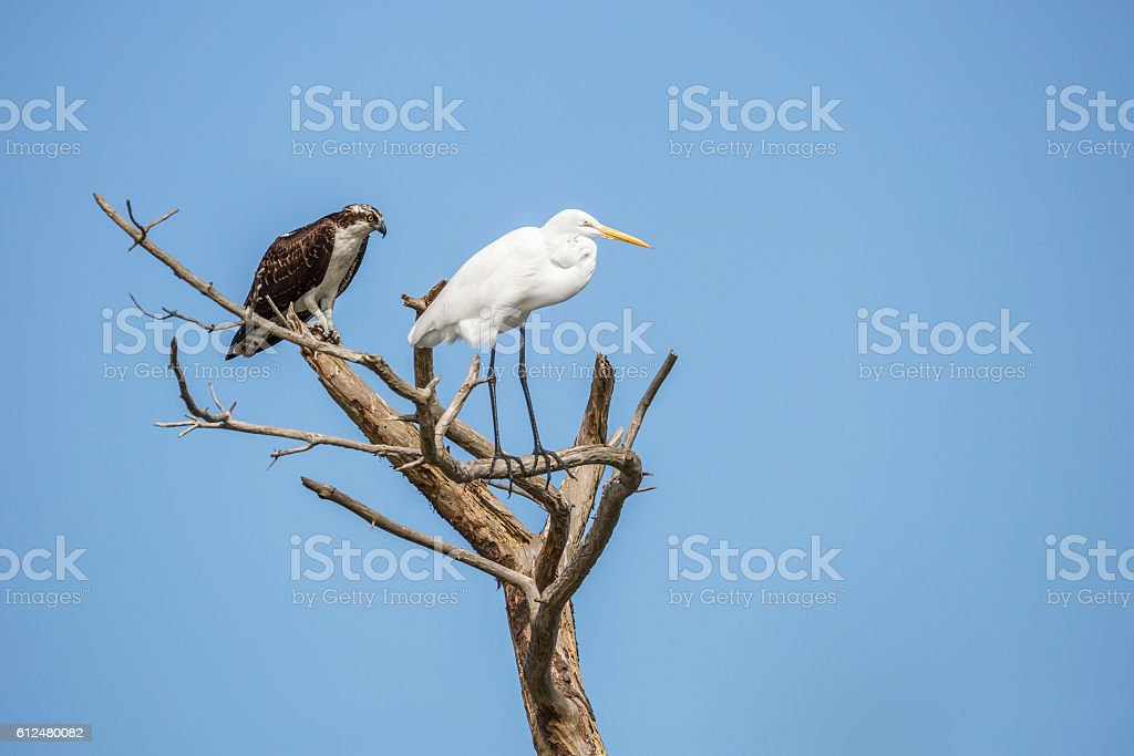 Strange Sight -- An Osprey and Great Egret Sitting Together stock photo