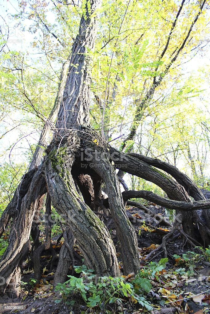 Strange tree stem and huge roots royalty-free stock photo