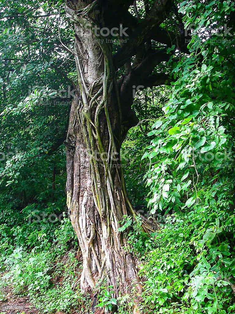 Strangler Fig encrusting Ceiba Tree Isla del Tigre Valle Honduras stock photo