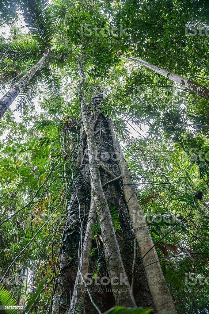 Strangler fig in Rainforest stock photo