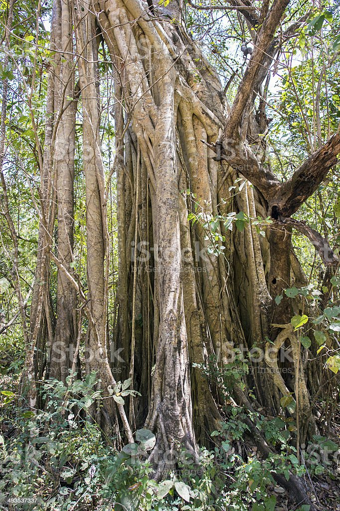 Strangler Fig in the Dry Forest South of Puerto Vallarta stock photo