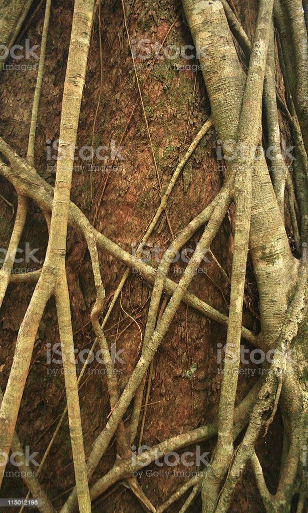 Strangler fig on a host Brushbox tree royalty-free stock photo