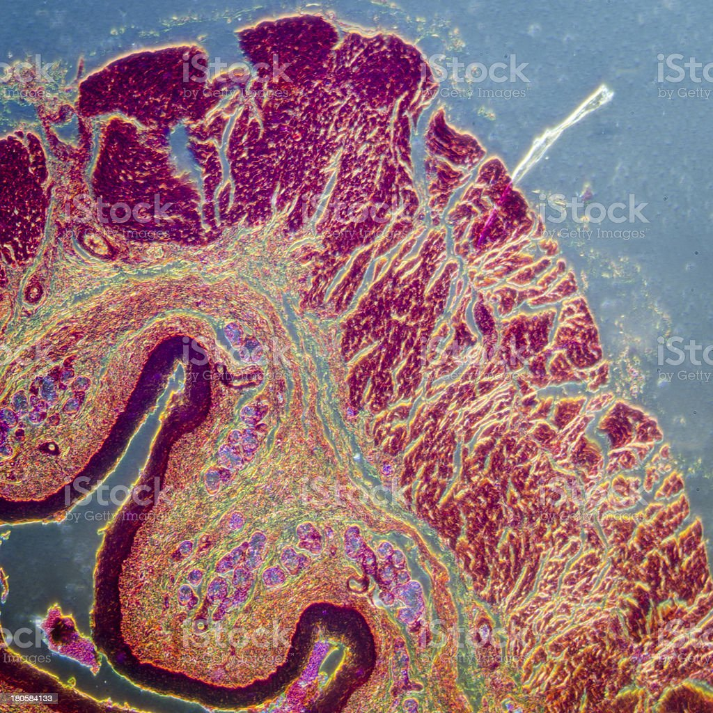 stratified squamous epithelium stock photo