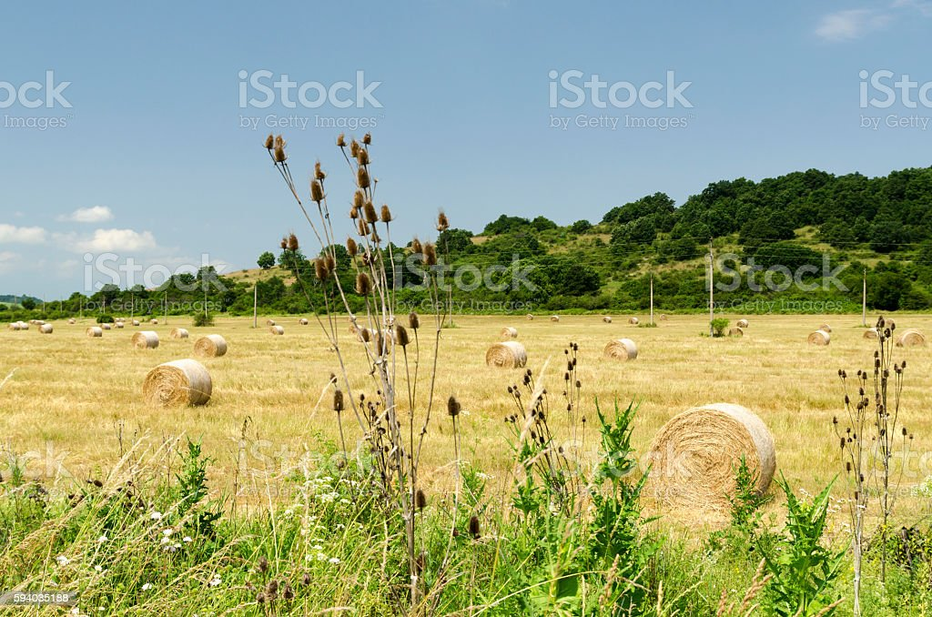 Straw bales in a field during the summer harvest and stock photo