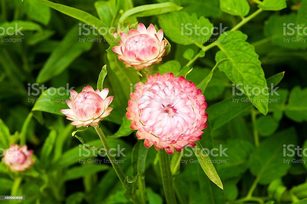 Flor de paja, en el jardín al aire libre foto de stock libre de derechos