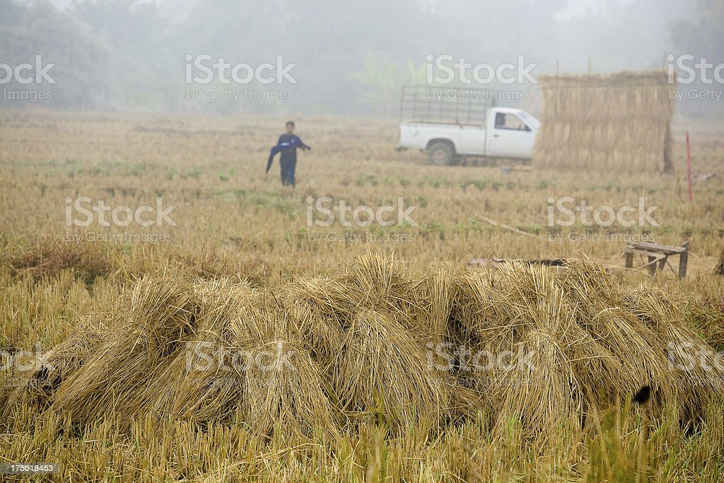 Straw on the paddy fields. royalty-free stock photo