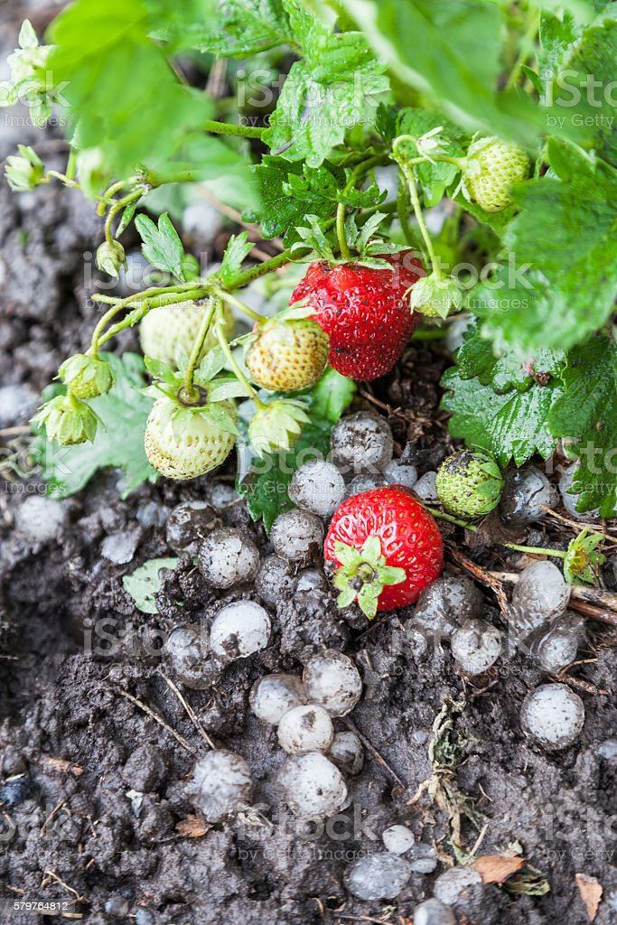 Strawberries destroyed by hail stock photo