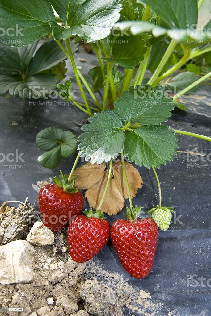 Strawberries growing in Field royalty-free stock photo