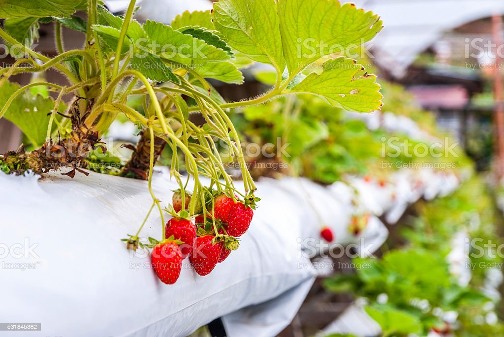 Strawberries growing in lines in greenhouse stock photo