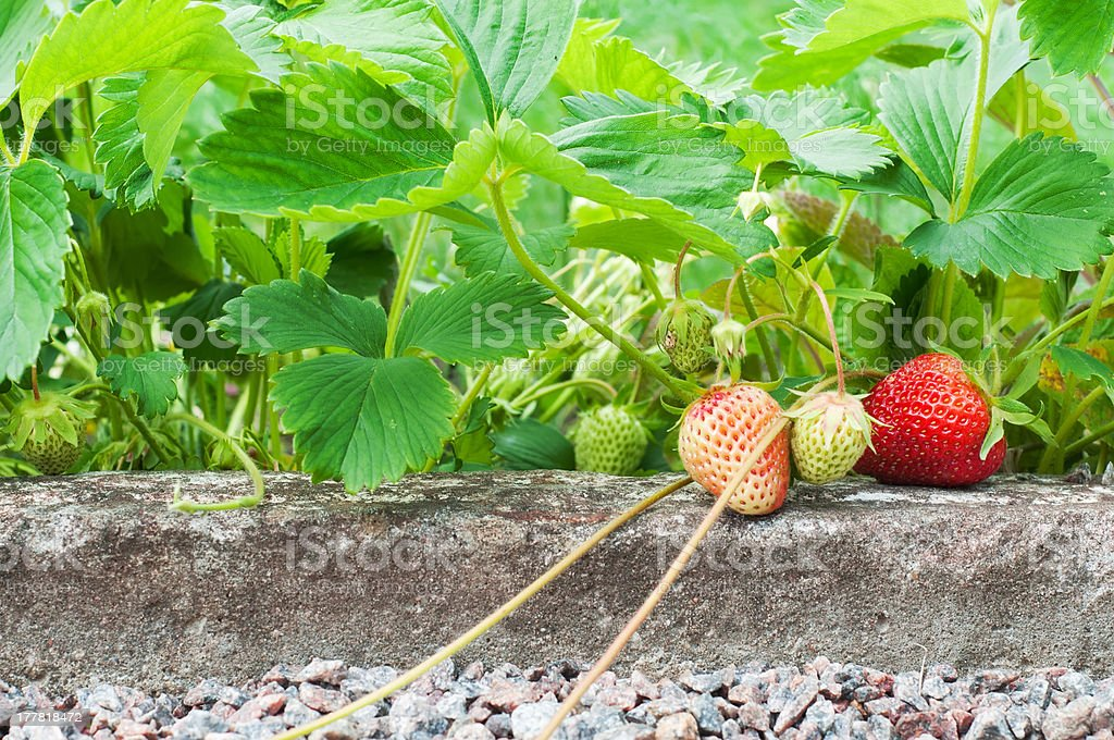 Strawberries growing in the garden royalty-free stock photo
