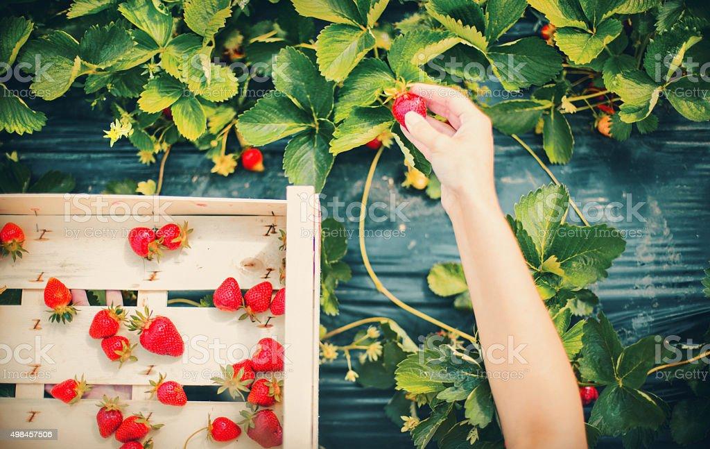 Strawberries harvest. stock photo