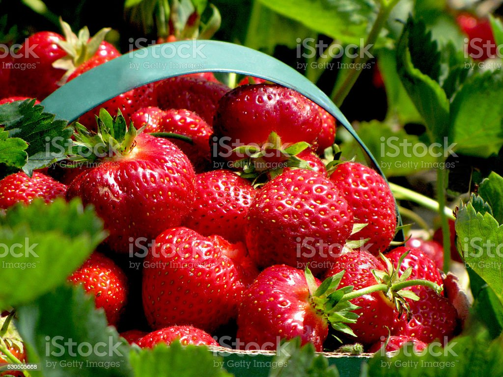 Strawberries in a Basket in the Field stock photo