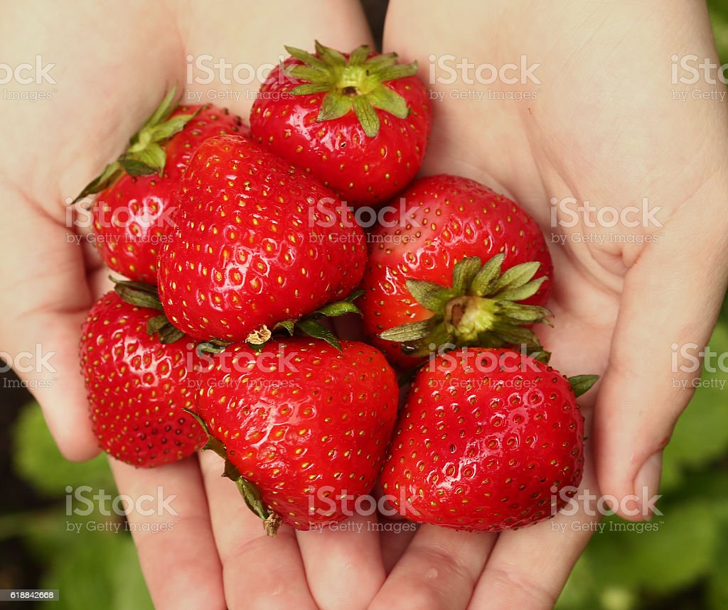 strawberries in human hand close up photo stock photo