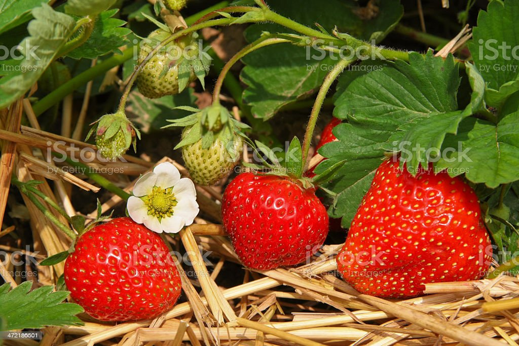 Strawberries in the garden royalty-free stock photo