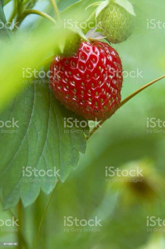 Strawberries in the garden stock photo