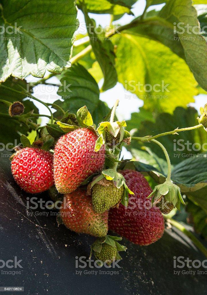 Strawberries on the vine stock photo