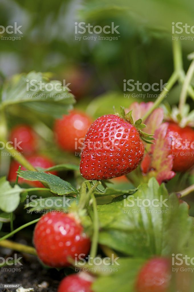 Strawberries... stock photo