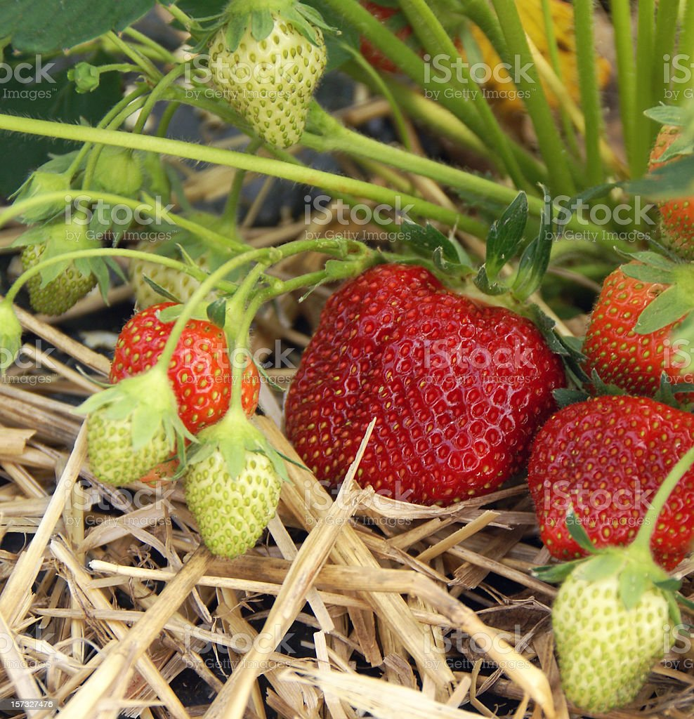 Strawberries Ripening royalty-free stock photo