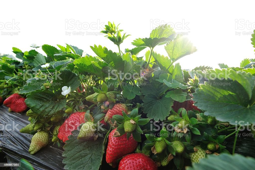 strawberry at garden stock photo