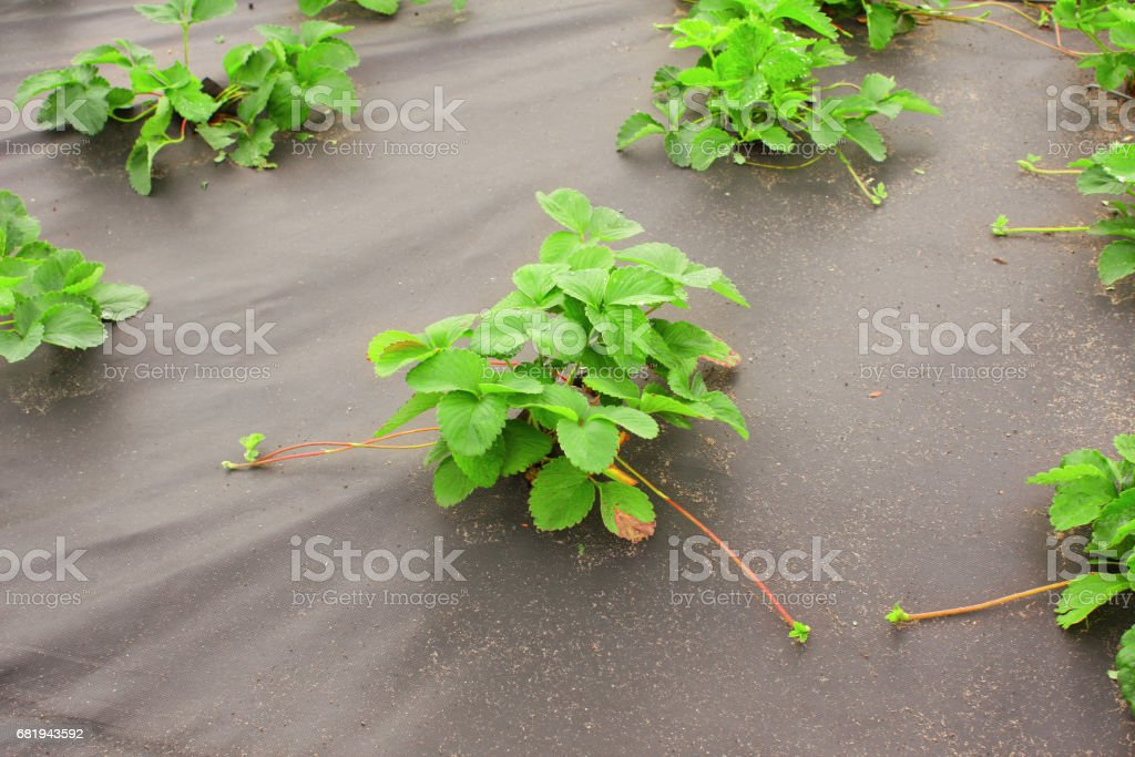 Strawberry bed, covered spunbond stock photo
