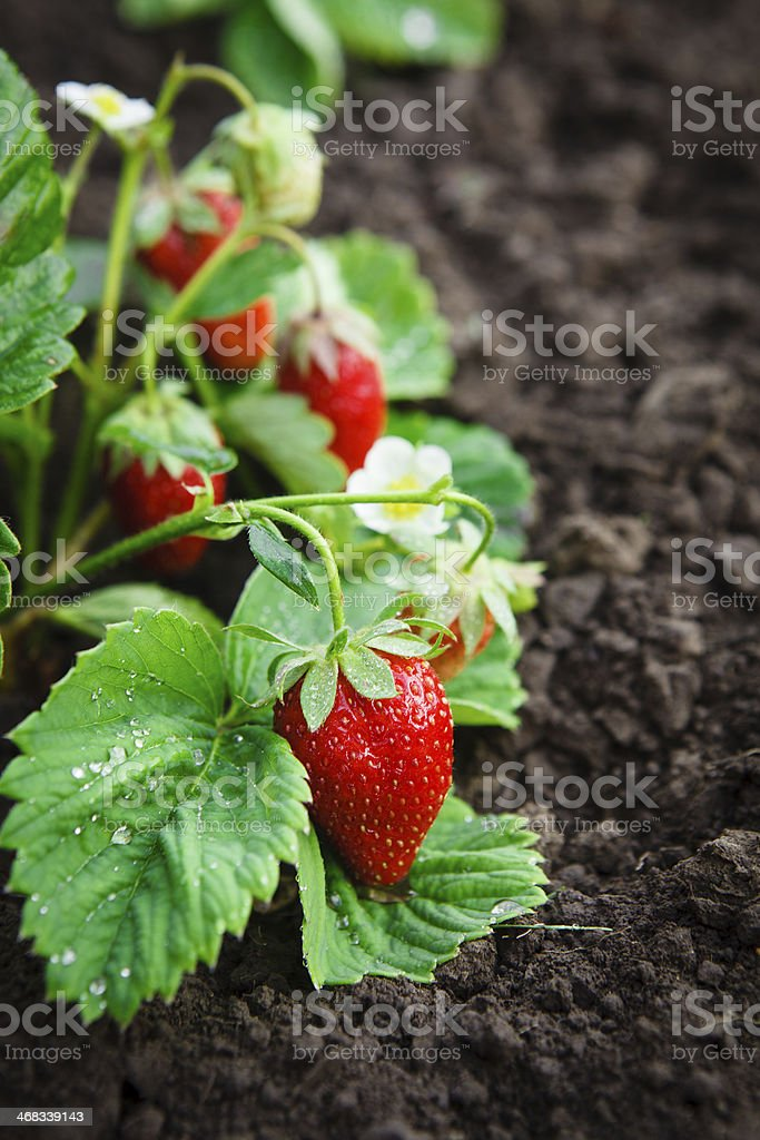 Strawberry bush grow in garden stock photo