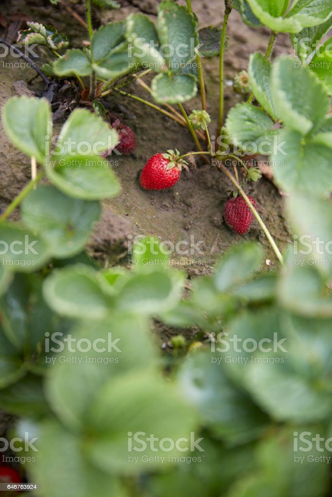 Strawberry Bush stock photo