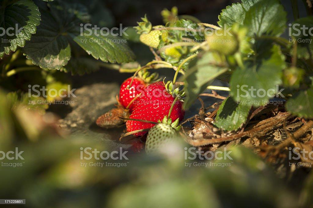 Strawberry crops grow on fertile farm land stock photo