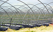 Strawberry cultivation in Huelva, Spain