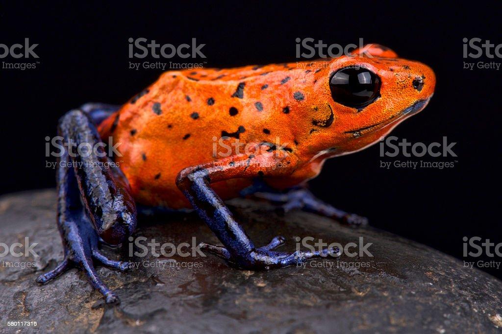 Strawberry dart frog (Oophaga pumilio) stock photo