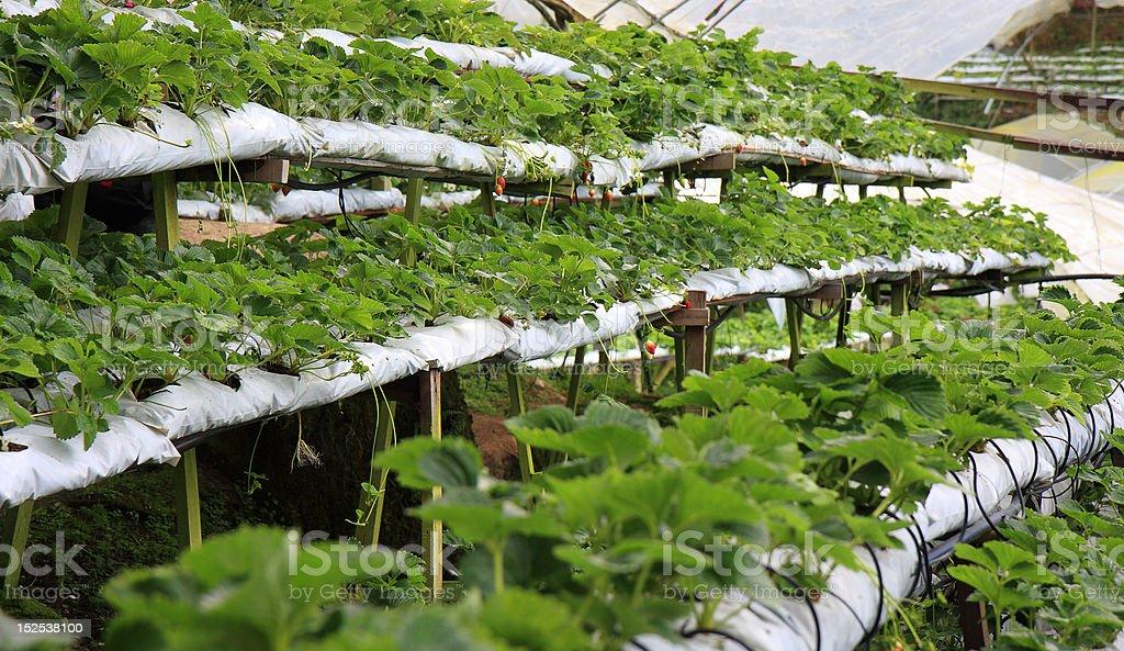 Strawberry Farm royalty-free stock photo