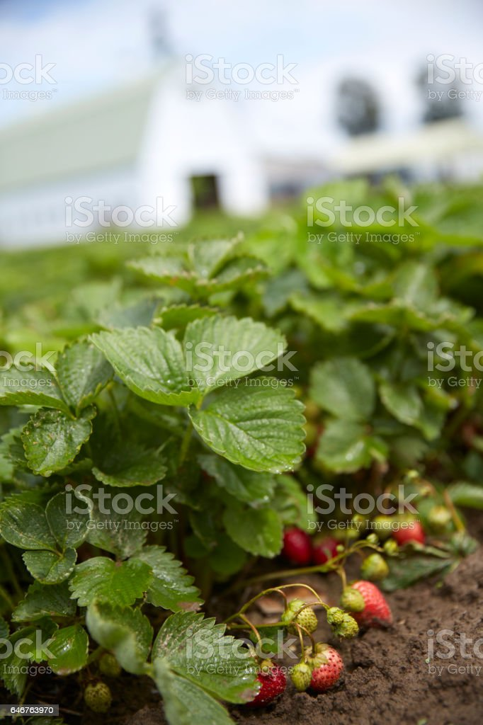 Strawberry Farm stock photo