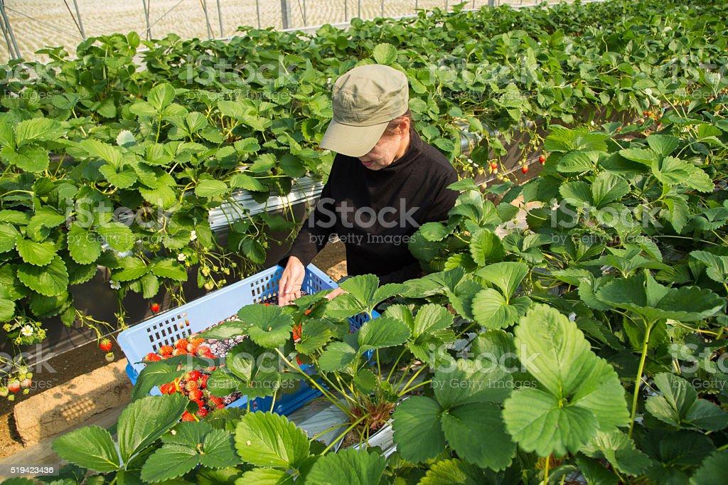 Strawberry farmer harvesting her crop stock photo