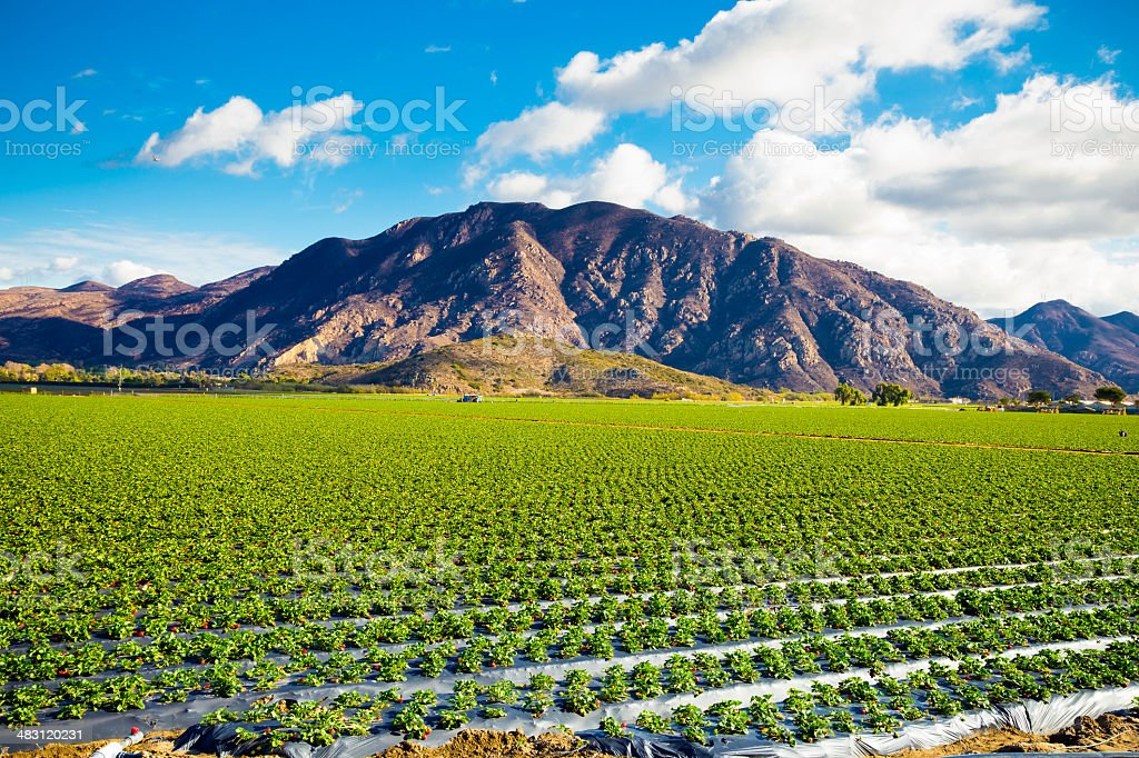 Strawberry Field and Mountains stock photo