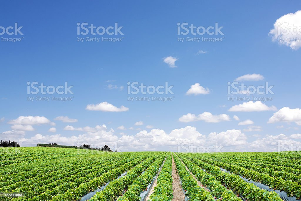 Strawberry field and rows perspective stock photo