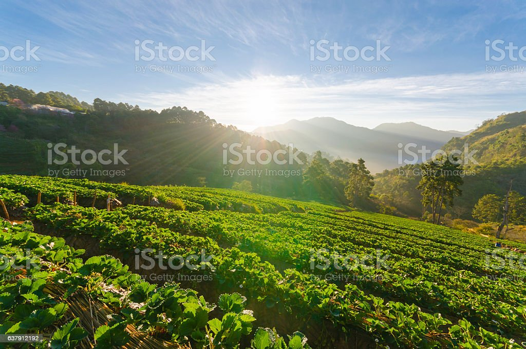 Strawberry field and sunshine in morning at chiang mai thailand stock photo