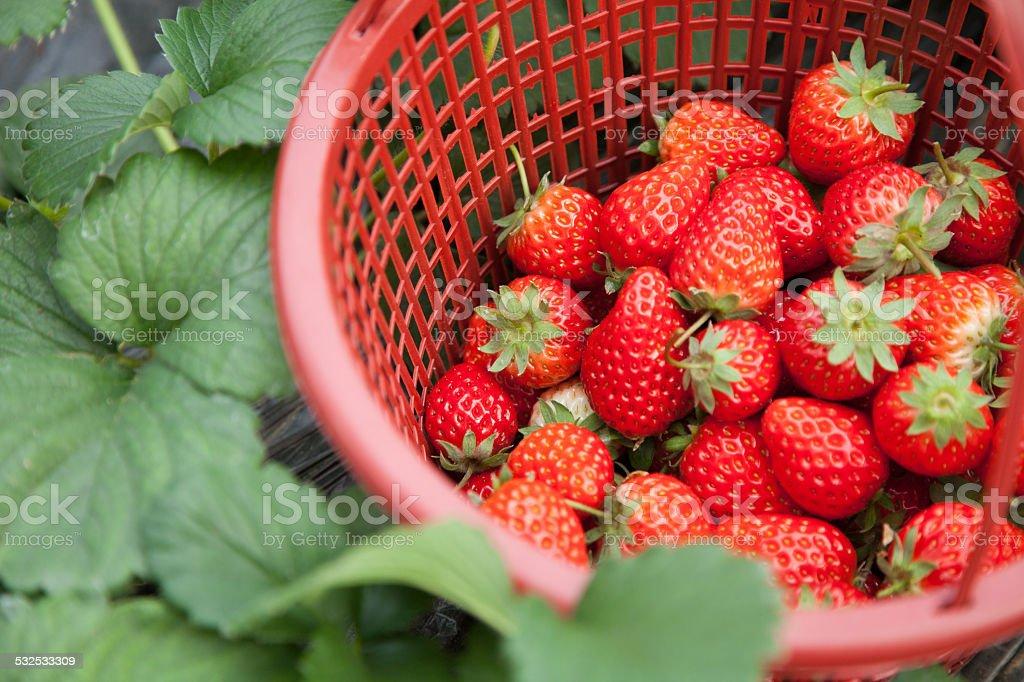 Strawberry field basket stock photo