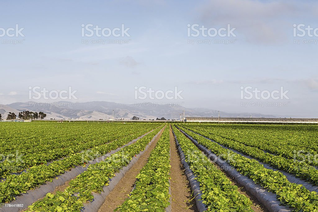 Strawberry Field in Salinas Valley, California. stock photo