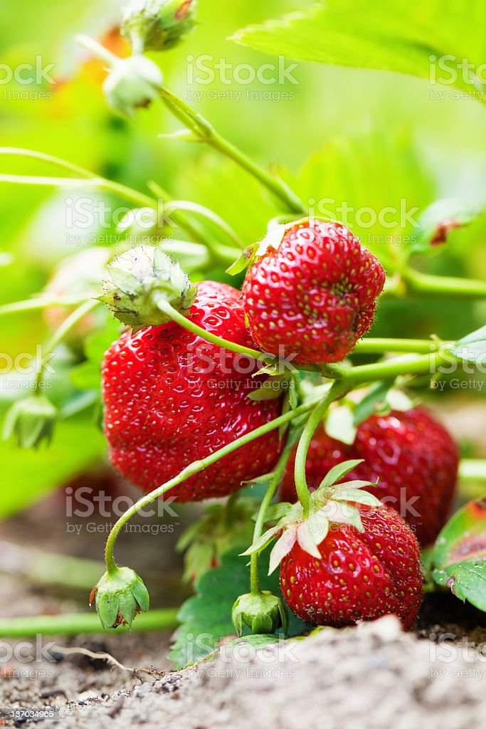 Strawberry Field royalty-free stock photo