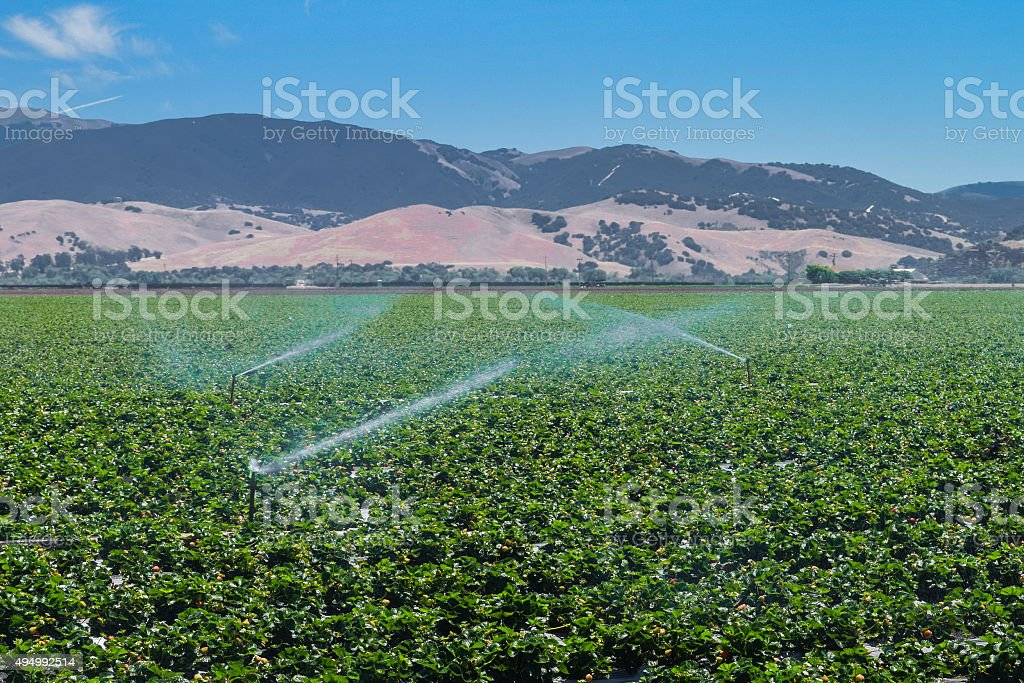 Strawberry Fields in Central California stock photo