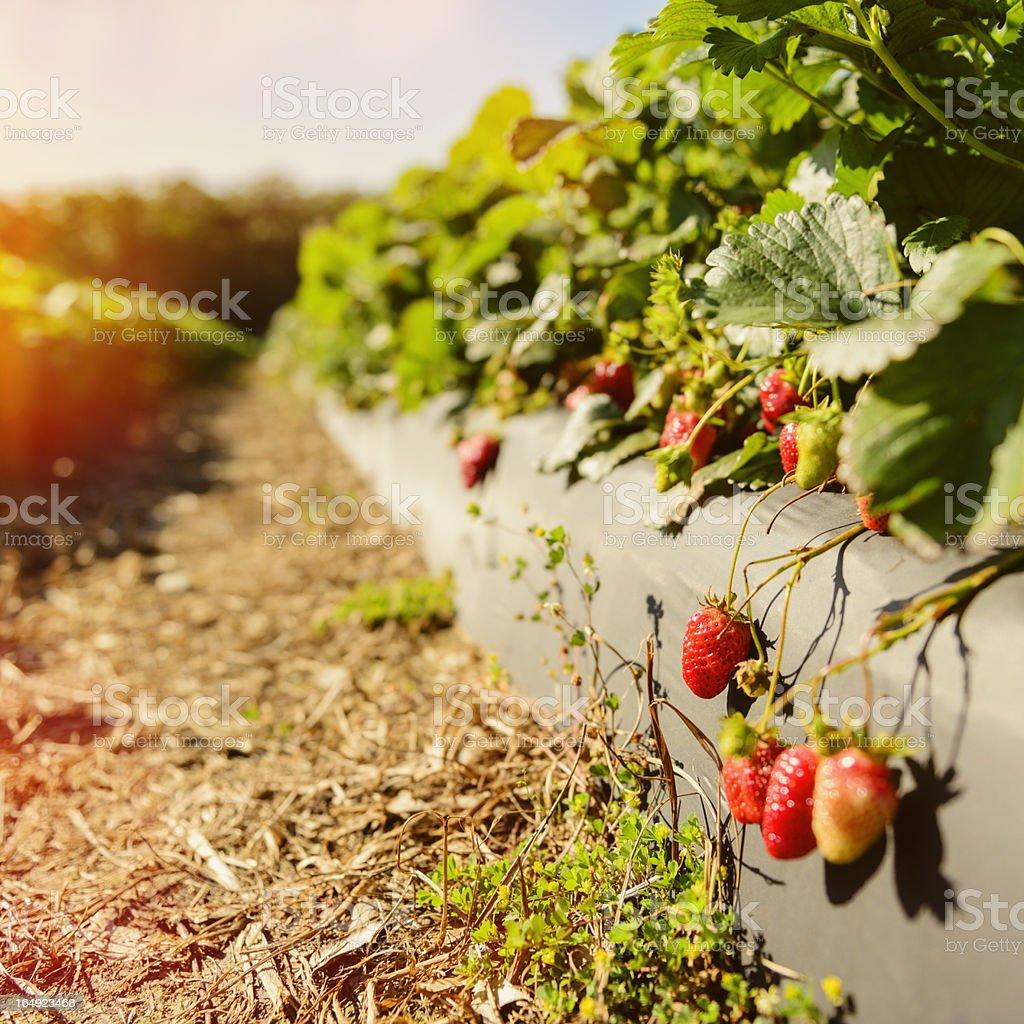 Strawberry Fields stock photo