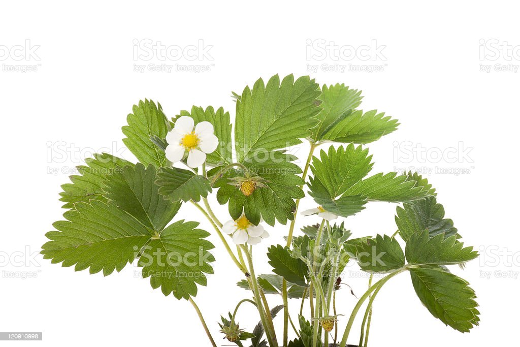 Strawberry flower and leaves royalty-free stock photo