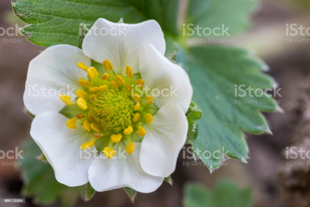 Strawberry flower in spring time stock photo
