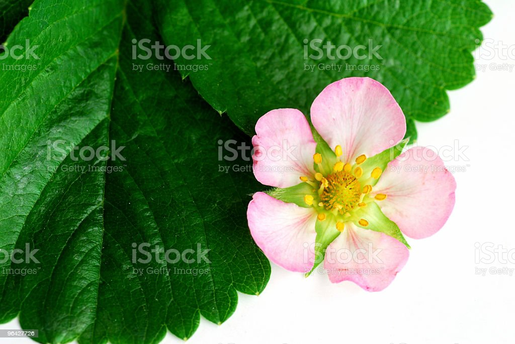 Strawberry flower stock photo